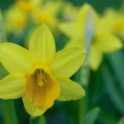 THE SHAPE OF THINGS: THE DAFFODIL