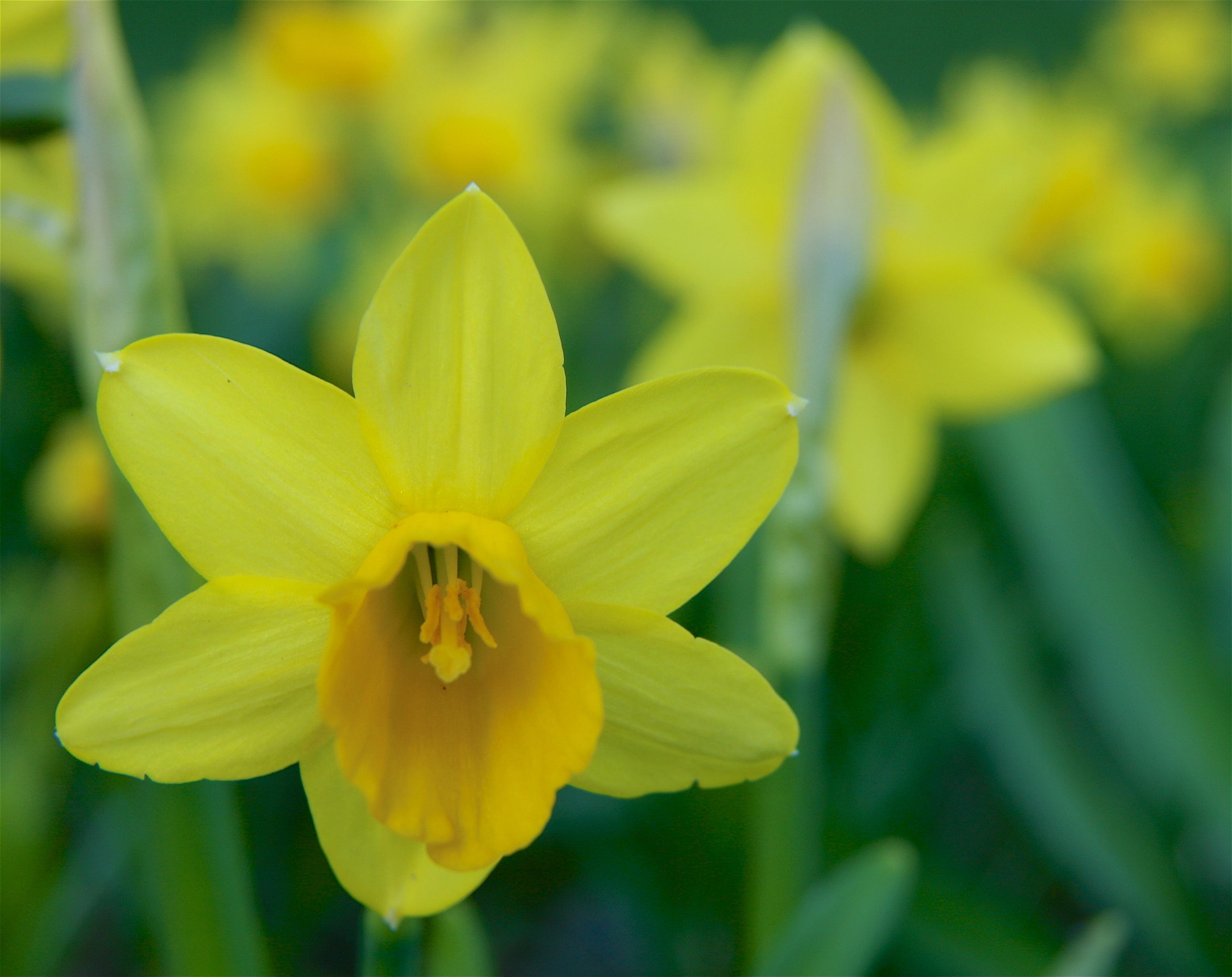 daffodil - photo #29